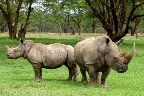 sumatra rhinoceros
